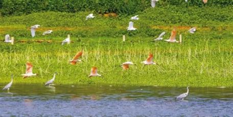 汉中成为全球最大野生朱鹮种群聚集地